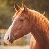 Sca horse